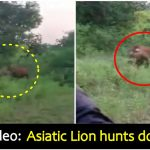 Watch: Live Cow offered as bait to Gigantic Lion in Gujarat, forest officials begin probe