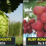 A quick comparison between World's costliest vegetable and World's expensive fruits